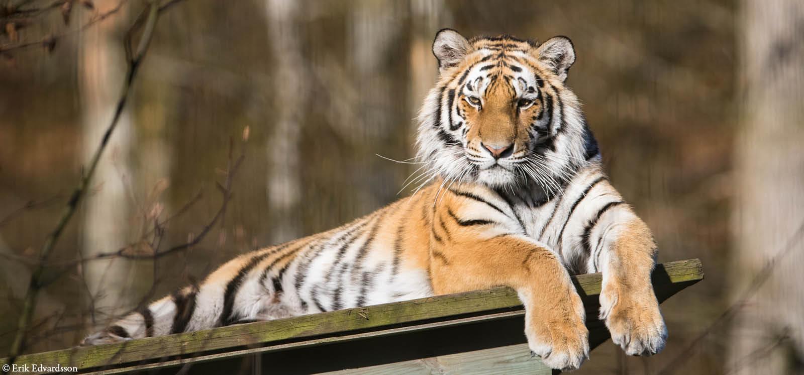 djurbilder1200x560amurtiger.jpg
