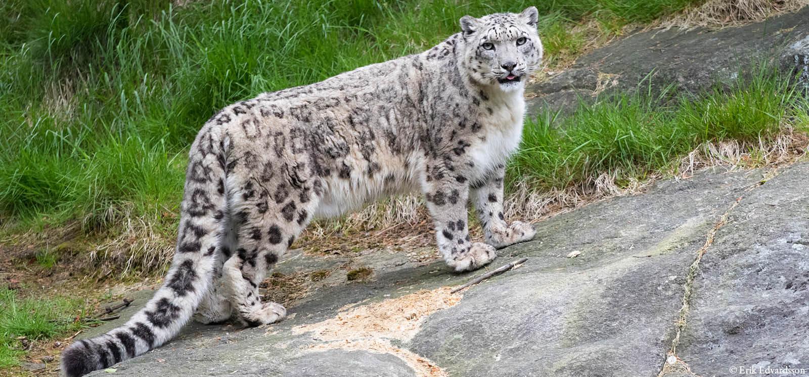 djurbilder1200x560snoleopard.jpg